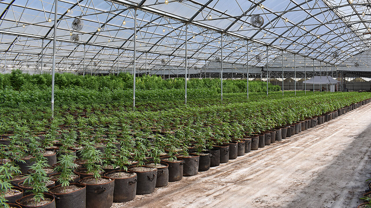 inside view of cannabis greenhouse with plants